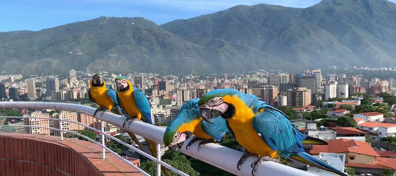Guacamayas-Caracas